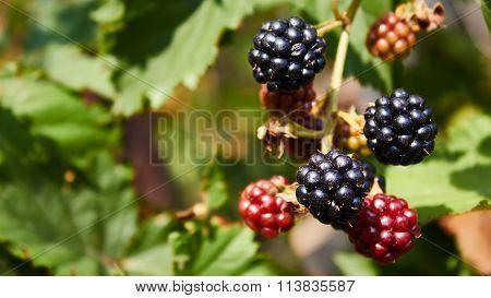 blackberries begin to ripen