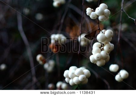 Snowberry Cluster