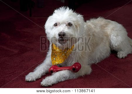 White Maltese mix dog on dark red maroon carpet  wearing a yellow bandana with a red chew toy poster