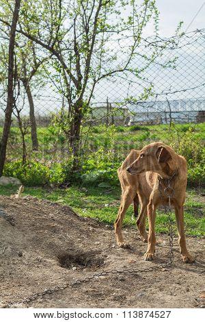 Skinny Dog In Chain