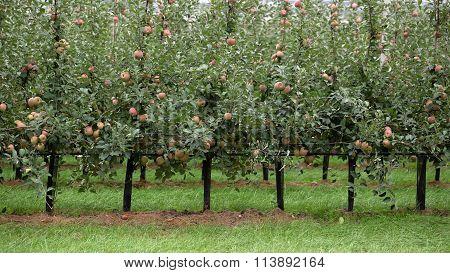 Apple Trees Full Of Apples