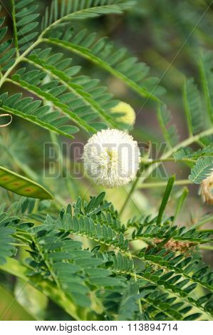 fresh acacia flower in vegetable garden