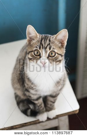 Young Cute Cat Sitting On A Stool And Looking Into The Camera