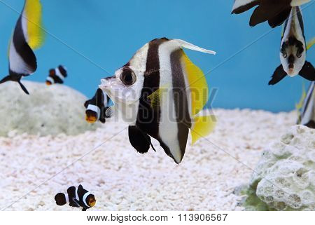 Colorful Schooling Bannerfish