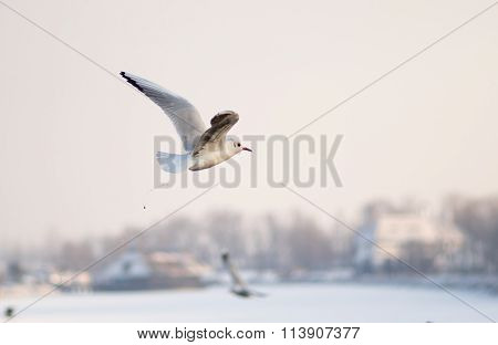 Gull defecating in winter fly