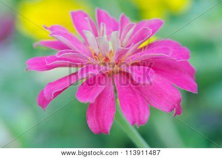 Pink Aster Flower In Rama 9 (local Name) National Garden, Bangkok Thailand