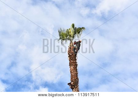 IRVINE, CA - DECEMBER 28, 2015: Unidentified man cutting Palm Tree. Palm trees planted in residential areas in the '60's and '70's and now overgrown are being removed.