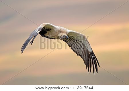 An endangered Cape vulture (Gyps coprotheres) in flight, South Africa