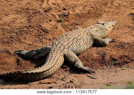 A Nile crocodile (Crocodylus niloticus) basking, Kruger National Park, South Africa