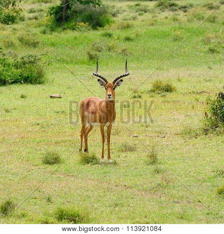 Wildlife deer In Africa