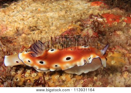 Nudibranch Sea Slug chromodoris