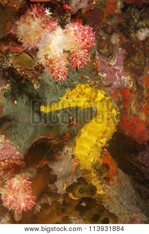 Wild yellow Tigertail Seahorse sea horse