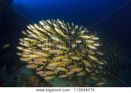 Fish school Bigeye Snappers yellow fish blue ocean background