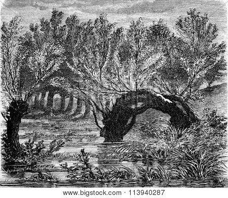 Willow vegetating both ends near levees of the Loire, at Blois, vintage engraved illustration. Magasin Pittoresque 1873.
