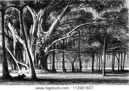 Multiplying the trunk, the Botanical Garden of Calcutta, vintage engraving.