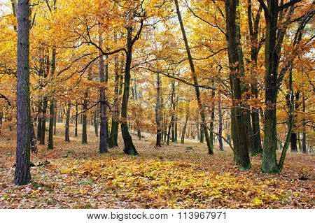 View From Autumnal Hardwood Forest - Oak Trees