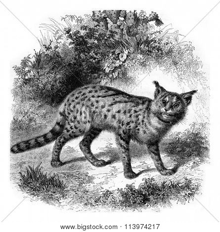 Zoo Marseille, The serval cat, vintage engraved illustration. Magasin Pittoresque 1857.