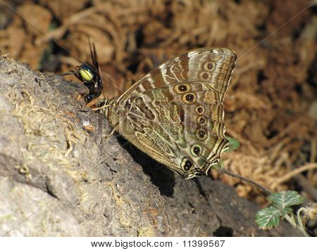 A fly fighiting with a butterfly