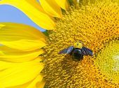 A carpenter bee  busy drinking nectar from  blooming sunflower poster