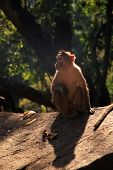 Langur Monkey in the jungle in Goa India poster