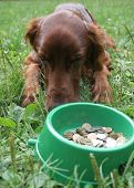 setter (dog) is laying in front of the bowl with money poster