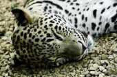 lying and sleeping Snow Leopard Irbis (Panthera uncia) poster
