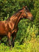 bay horse in verdure outdoor sunny day summer poster