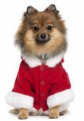 German Spitz wearing Santa outfit 8 months old sitting in front of white background poster