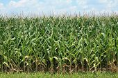 This is aphoto of a corn crop in the delta area of Southeast Arkansas. poster