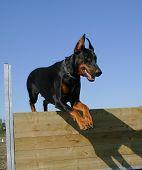 jumping purebred black doberman: sportive watching dog poster
