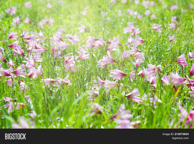 Beautiful Rain Lily Flower Image Photo Bigstock