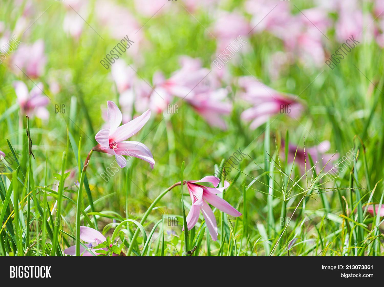 Beautiful Rain Lily Image Photo Free Trial Bigstock