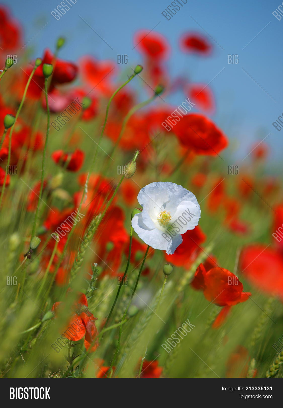 Poppy Flowers Growing Image Photo Free Trial Bigstock