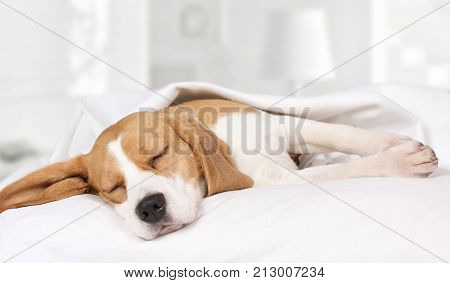 Small hound Beagle dog sleeping at home on the bed covered with a blanket