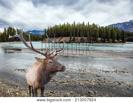 Deer with branched horns near the lake. Travel to the Rockies of Canada. The road 93