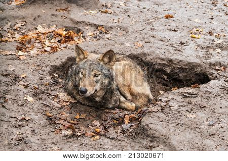 Wolf lying in a hole in the mud who raised his head cautiously