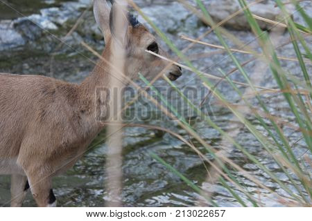 Ibex standing by the water stream in Ein Gedi, Israel