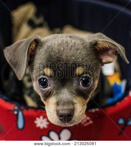 Puppies of chihuahua looking in their bed.