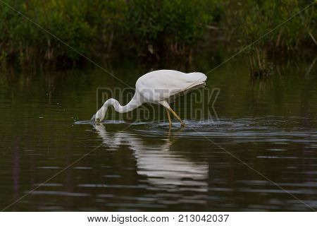 Mirorred Great White Egret (egretta Alba) With Head Plunged In Water
