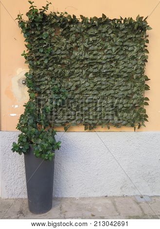 Potted Real shrub with square plastic extension in Italian town