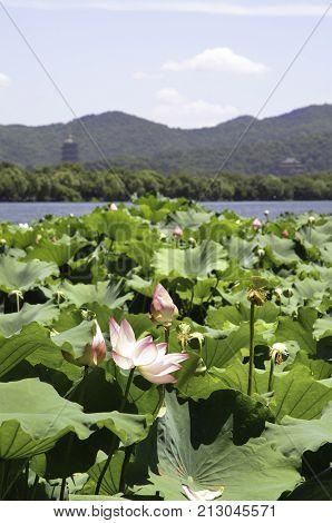 HANGZHOU, CHINA - JULY 30, 2012 - Lotus flowers on West Lake, Hangzhou