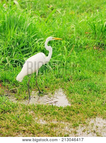 White Egret From Brazil Walking On A Green Grass With Some Puddle Of Water Around.