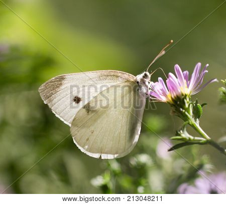 beautiful butterfly in nature. macro . In the park in nature