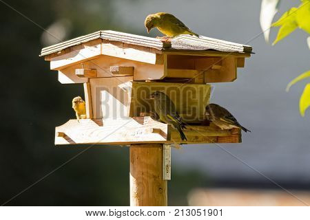 Wooden bird feeder with European Greenfinch bird in yellow green color perch on house, feeding on dried sunflower seed food during Autumn in Austria, Europe (Chloris chloris)