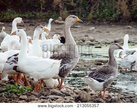 Geese on the river bank. White and gray geese.