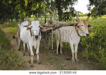 Burmese rural transportation with two oxen and wooden cart at Bagan Myanmar (Burma)
