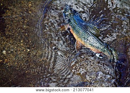 Colorful Brook Trout Fights on the line of a Fly Fisher in Clear Waters