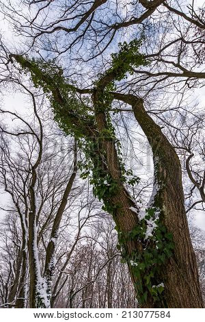 Winter Forest With Green Ivy Plant In Snow