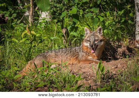 Grey Fox Vixen (Urocyon cinereoargenteus) Lies Down Near Den - captive animal