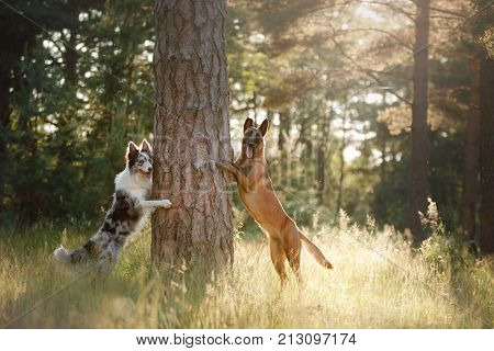 Dogs Border Collie And Belgian Shepherd In The Woods